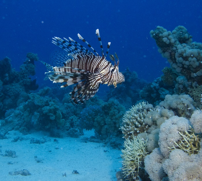 H πρόσφατη διαπλάτυνση της διώρυγας του Σουέζ είχε ως αποτέλεσμα πολλά είδη της Ερυθράς Θάλασσας να εισβάλλουν στη Μεσόγειο, το Lionfish πλέον παρατηρείται και στις Κυκλάδες. Σύντομα και στον Παγασητικό...