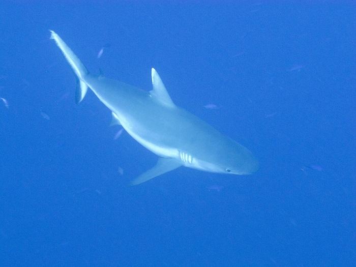 Tα νησιά Brothers είναι από τα κορυφαία μέρη, που μπορείς να δεις καρχαρίες από κοντά