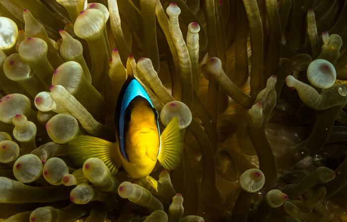 Clown fish: Η αιγυπτιακή έκδοση του Νέμο, το ψάρι κλόουν
