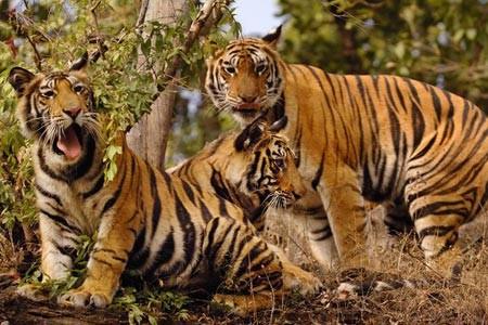 Κομάντος θα προστατεύουν τις τίγρεις