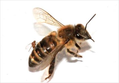 Μύγα σκοτώνει τις μέλισσες μετατρέποντάς τις σε «ζόμπι»;