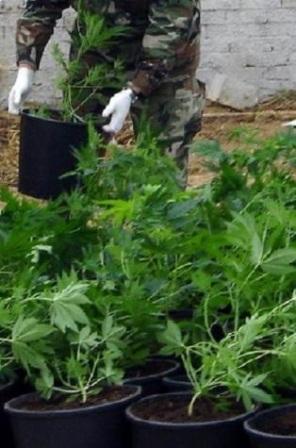Καλαμάτα: Είχε γεμίσει την αυλή του με χασισόδεντρα