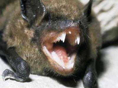 Φονική ασθένεια σαρώνει τις νυχτερίδες