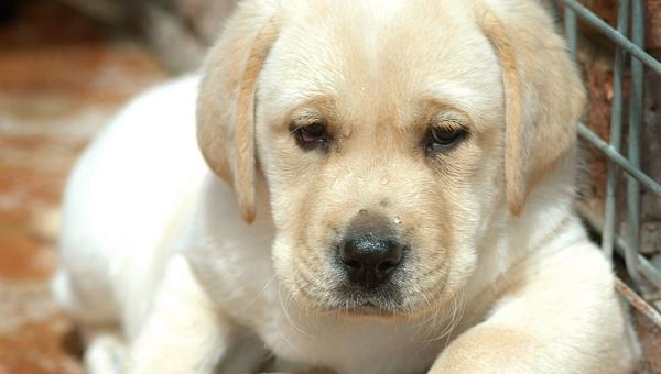 Στην Ελλάδα το πρώτο εμβόλιο για το καλαζάρ των σκύλων