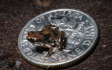 Βάτραχος μικρότερος από... κέρμα