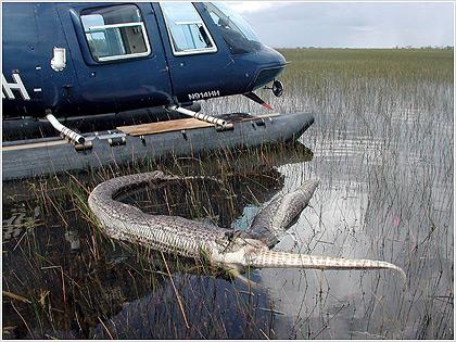 Φλόριντα: Φίδια «στραγγαλίζουν» το οικοσύστημα των Έβεργκλεϊντς
