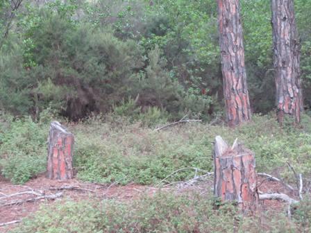 SOS από τα δάση Σκιάθου για παράνομη υλοτομία