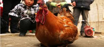 Κόκορας που κάνει... αυγά!