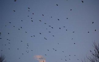 Χιλιάδες κοράκια εισβάλλουν στην Πενσυλβάνια
