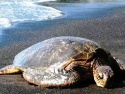 Περισσότερες από 470 νεκρές χελώνες στην Ελλάδα το 2011