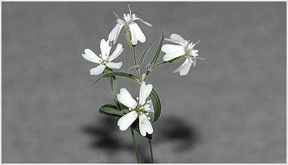 Μετά από 30.000 χρόνια παγωμένο λουλούδι αποκτά ξανά ζωή