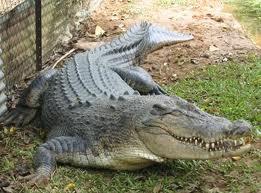 Κροκόδειλος έκανε κομμάτια τους όρχεις 70χρονου