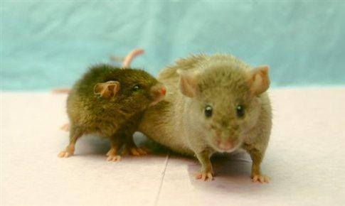 «Ξεχασμένη» πρωτεΐνη δείχνει να παρατείνει τη ζωή στα θηλαστικά