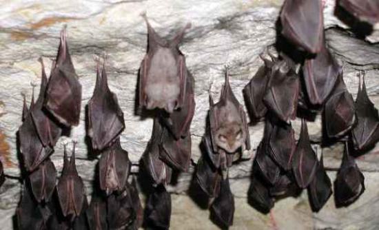 Νέο στέλεχος του ιού της γρίπης βρέθηκε σε νυχτερίδες