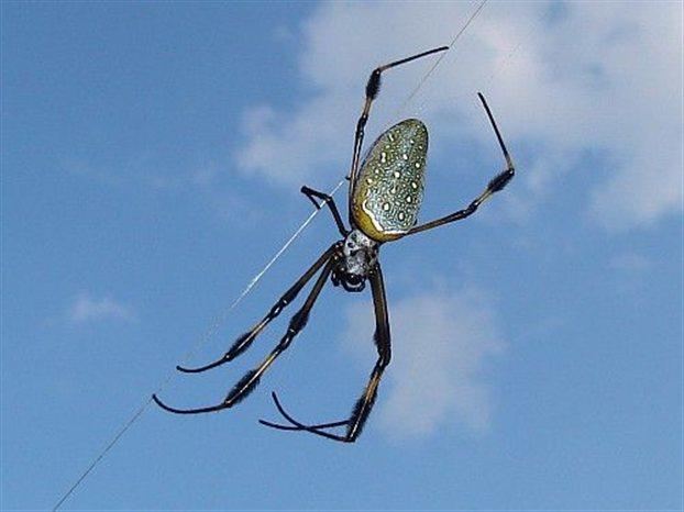 Πώς οι αράχνες αποφεύγουν να κολλήσουν στον ιστό τους