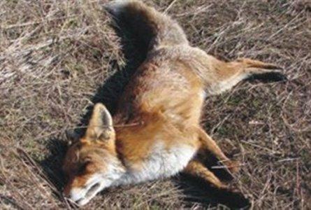 Δηλητηριασμένα ζώα εντοπίστηκαν στον Εθνικό Δρυμό Πρεσπών