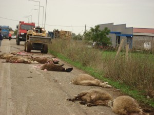 Κρήτη: Φρίκη στον Άγιο Βασίλειο με σφαγιασμένα πρόβατα!