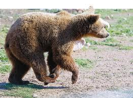 Επιδρομή αρκούδας σε μελίσσια!