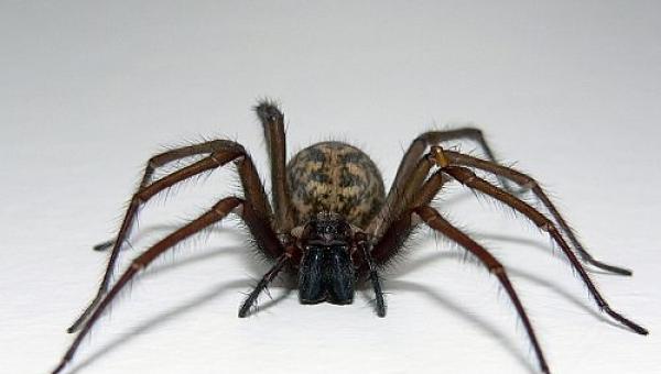 Αράχνες: ένα φυσικό οπλοστάσιο κατά ασθενειών που σκοτώνουν τον άνθρωπο