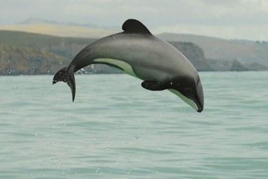 Εξαφανίζονται τα μικρότερα δελφίνια του κόσμου – Απέμειναν μόνο 55
