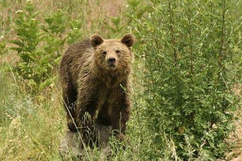 Ξαναχτύπησε η Αρκούδα στο Κακοπλεύρι Καλαμπάκας