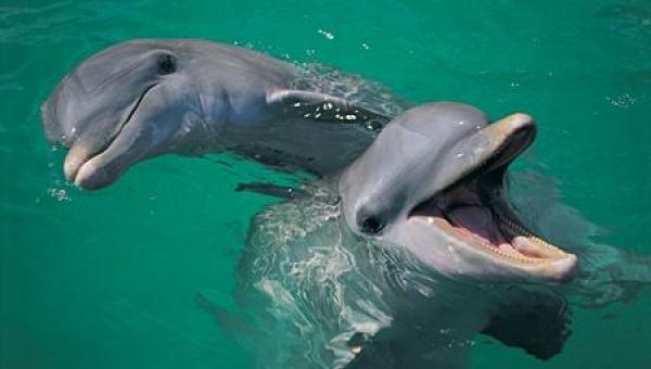 Τα δελφίνια οργανώνουν συμμορίες και λύνουν με βία τις διαφορές τους