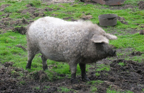Το γουρούνι «Lincolnshire» ή «σγουρό παλτό» το …προβατογόρουνο των Τρικάλων