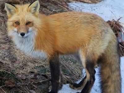 Εύβοια: Έφαγαν αλεπού, λόγω οικονομικής κρίσης