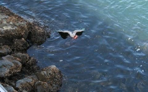 Απίστευτες εικόνες: χταπόδι παρασέρνει γλάρο στο βυθό