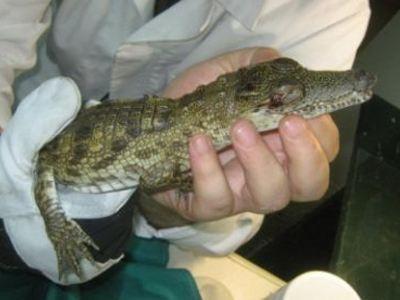 Βρέθηκε κροκόδειλος-μωρό στην Αχαρνών
