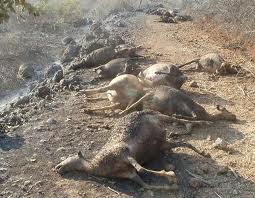 Καρδίτσα: Απανθρακώθηκαν 85 ζώα