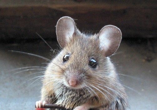 Ποντικός με ....υποκριτικό ταλέντο! Δείτε το ξεκαρδιστικό ΒΙΝΤΕΟ