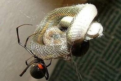 «Φονική» αράχνη κατατροπώνει φίδι (photo gallery)