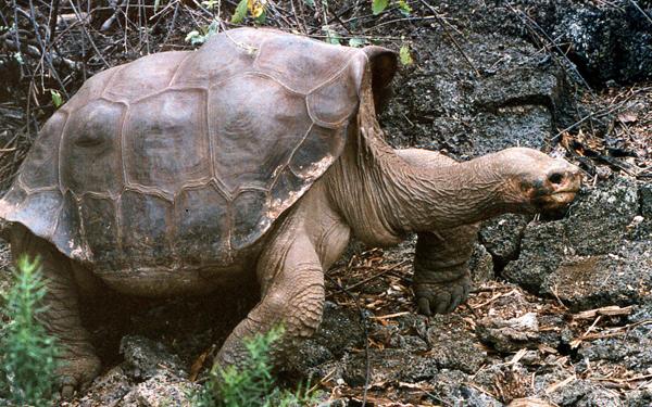 Πέθανε η τελευταία γιγάντια χελώνα ο «Μοναχικός Χόρχε»