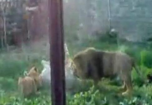 Ζωολογικό πάρκο ταΐζει τα λιοντάρια με ζωντανά γαϊδούρια [βίντεο]
