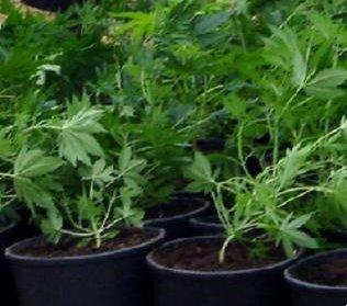 Λάρισα: Πιάστηκε στα «πράσα» να ποτίζει 150 χασισόδεντρα