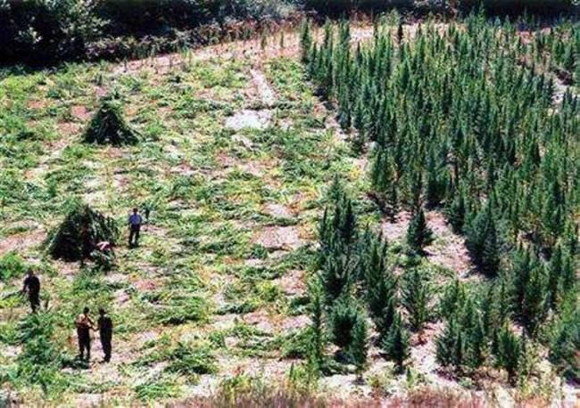 Αλβανία: Η αστυνομία ξήλωνε το χασίς, οι χωρικοί πυροβολούσαν...