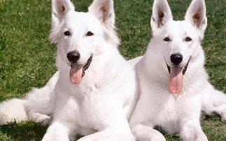 Γιατί τα λευκά ζώα είναι συχνά κουφά