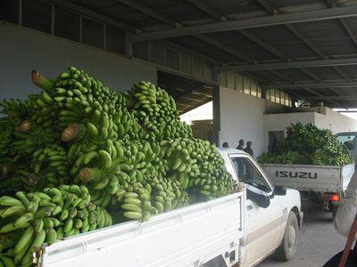 Λάρισα: Διανομή 15 τόνων μπανάνας από το δήμο Λάρισας σε ανέργους και αναξιοπαθούντες