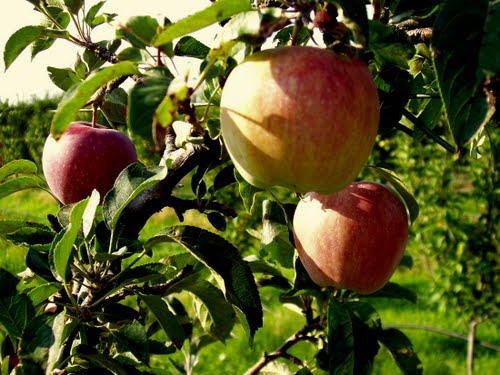 Παρέμβαση στο υπουργείο  για τα μήλα Θεσσαλίας