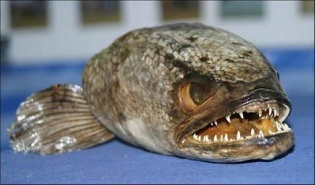 Ψάρεψε πιράνχας 45 εκατοστών