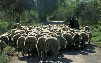 Κολιέ θα προστατεύει τα πρόβατα από τους λύκους