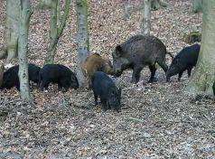 Τρίκαλα: Αγριογούρουνα έφαγαν …μοσχαράκι και πλησίασαν παιδική χαρά
