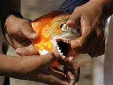 Ψάρεψε πιράνχας στα γλυκά νερά του Έβρου