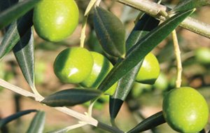 Ξεκινά η παραλαβή   πράσινης ελιάς