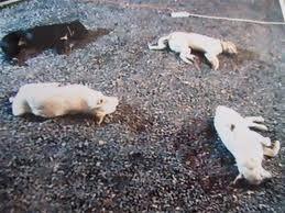 Καρδίτσα: Αποτρόπαιο θέαμα με 18 σκυλιά νεκρά από φόλες