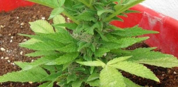 Τρίκαλα: Καλλιεργούσε χασίς στον… κήπο του!