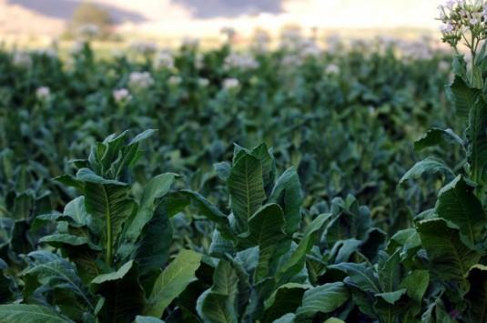 Ξάνθη: Κλέβουν καπνό από τα χωράφια για να φτιάξουν… τσιγάρα!