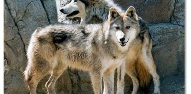 Τρίκαλα: Επίθεση αγέλης λύκων σε κοπάδι στη Διάβα Καλαμπάκας