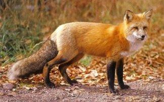 Κρούσμα λύσσας σε αλεπού στην Κοζάνη